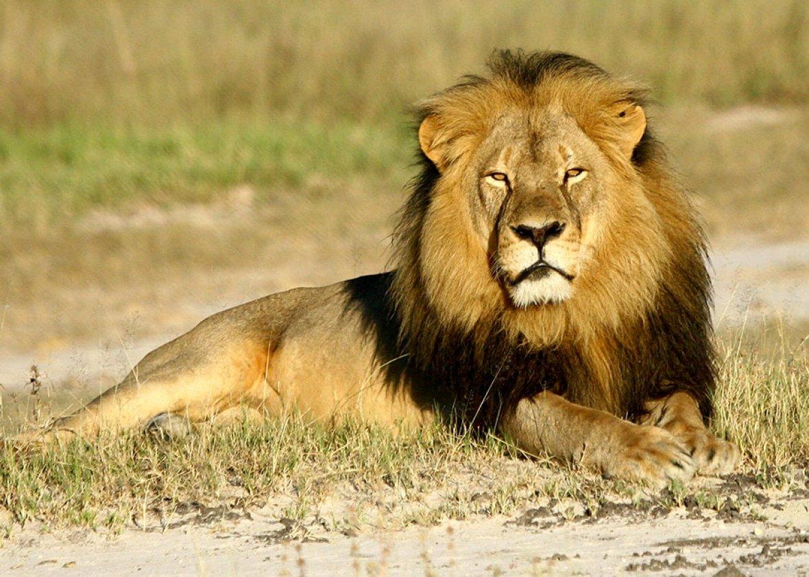 """O sacrifício do Leão Cecil e a necessária cautela no ato de """"julgar"""""""