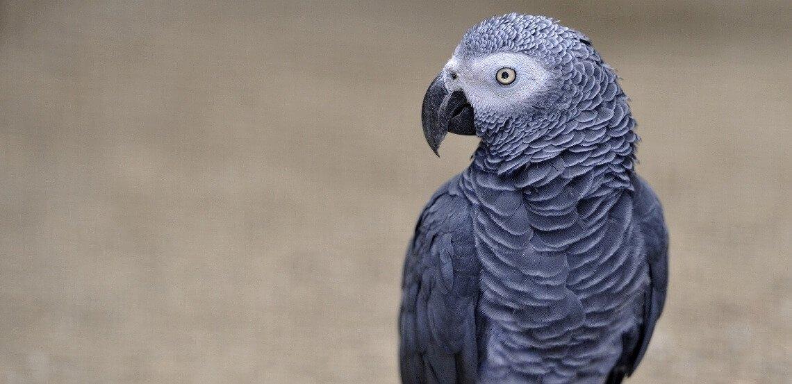 Um papagaio como testemunha de homicídio?