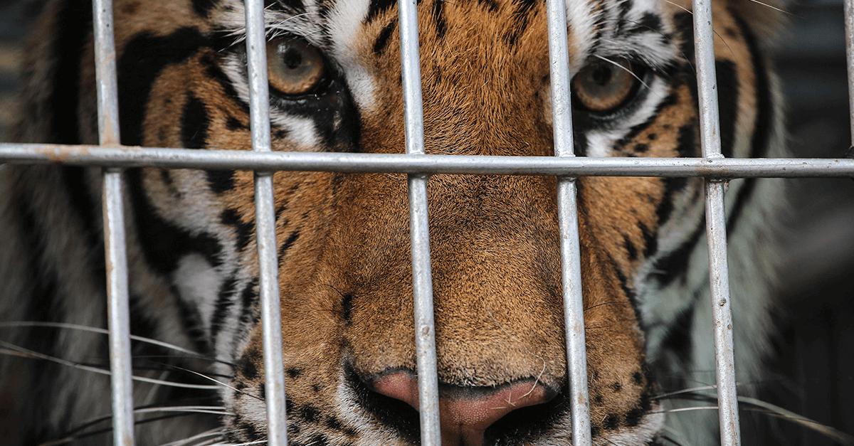 Tráfico de animais: uma atividade ilegal baseada no sofrimento