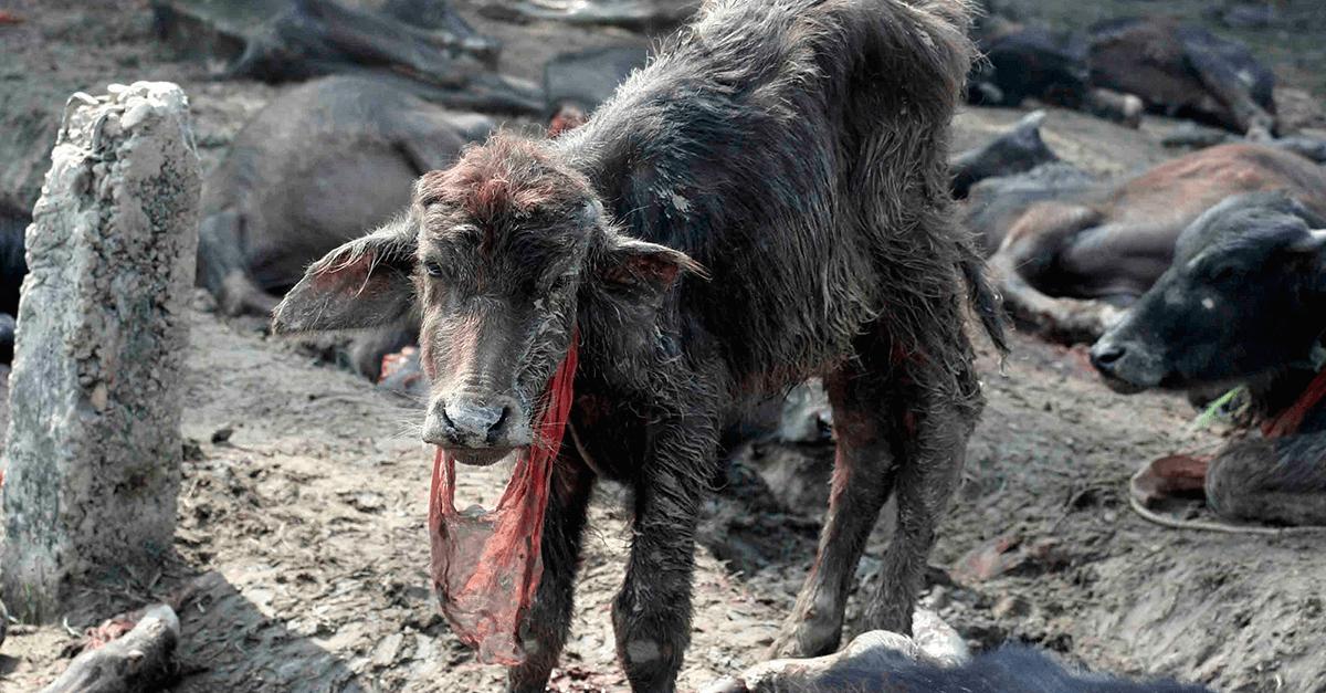 Utilização de animais em rituais religiosos