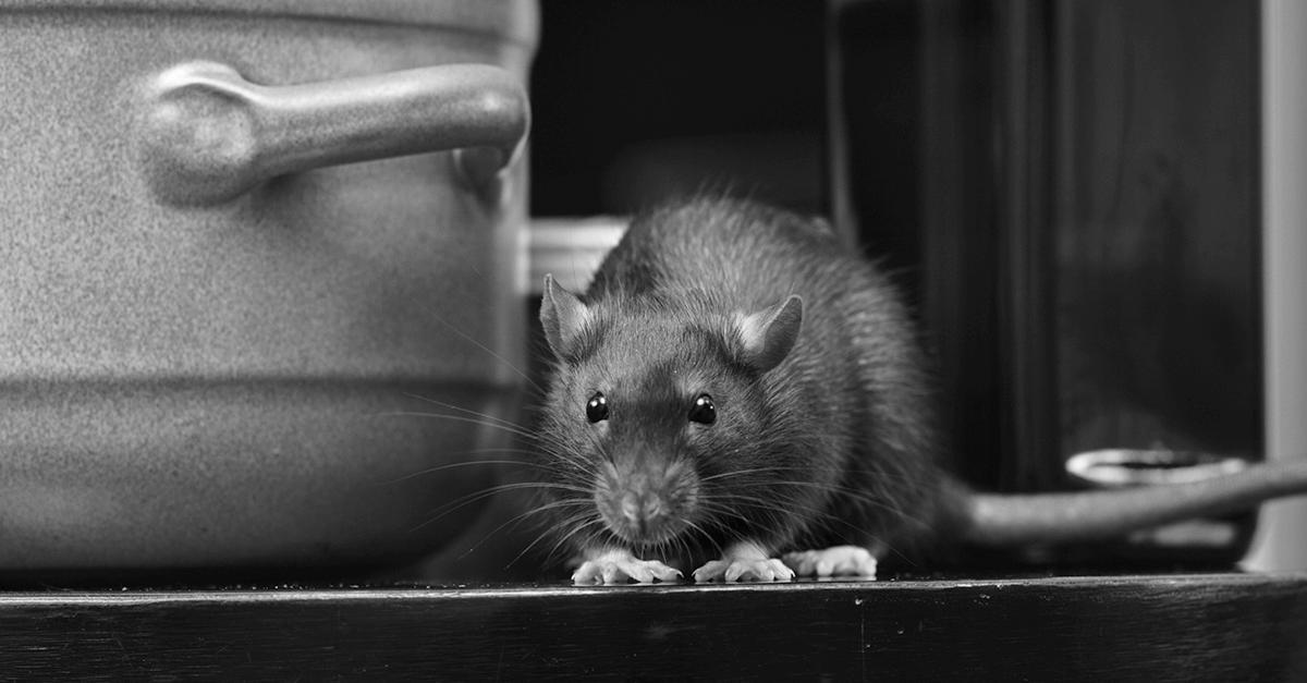o rato e a panela de ferro