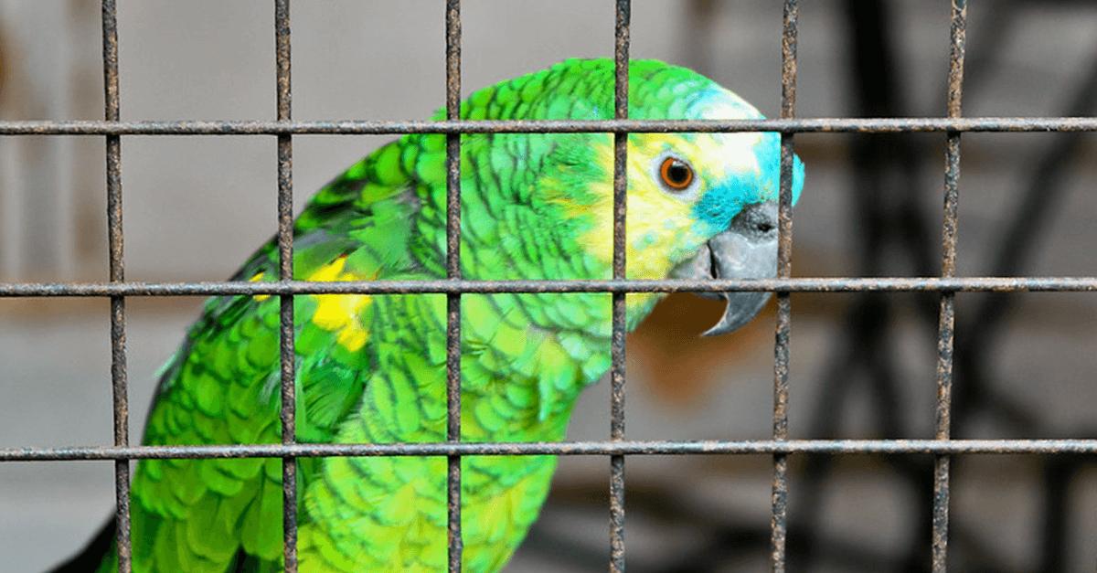 No Brasil se prende até papagaio