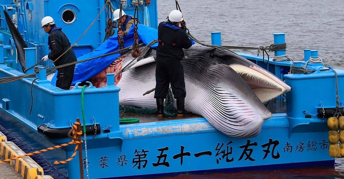Japão: caça às baleias e a questão cultural