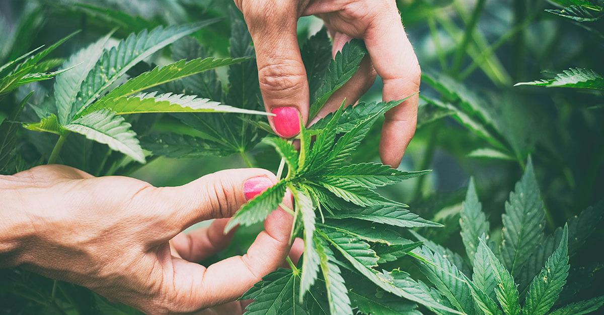 Mulher com câncer consegue salvo-conduto para cultivar Cannabis sativa para tratamento