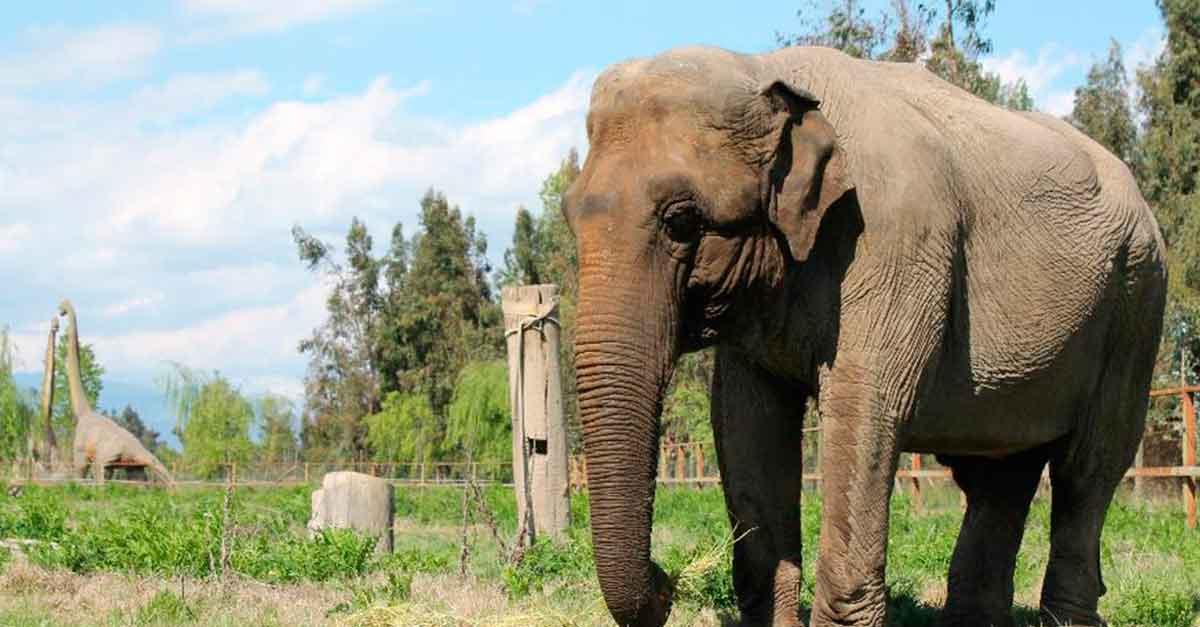 Elefantas Lady e Ramba: histórias de sofrimento e exploração