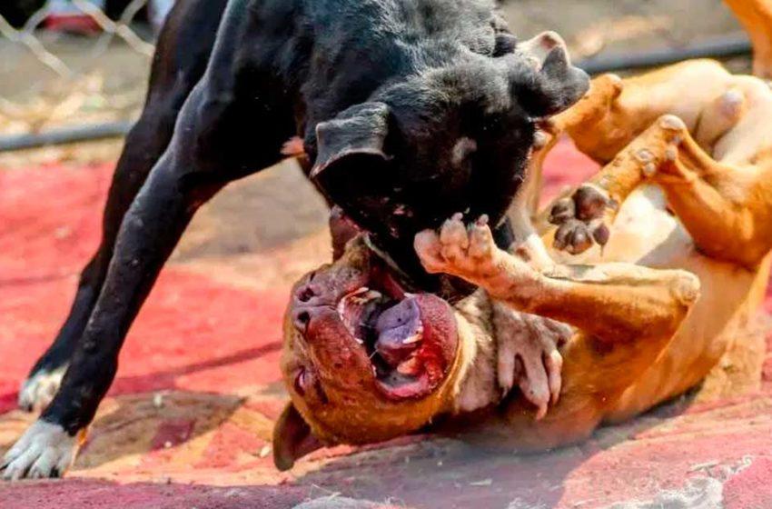 """Projeto de lei criminaliza """"rinha"""" de animais"""
